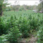 cultivo de marihuana en tierra
