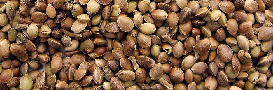 Muchas semillas de marihuana