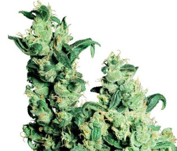 jack herer marihuana