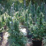 Prepara tu jardín para el cultivo exterior de marihuana