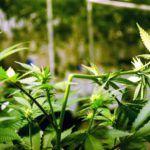 sencillas técnicas para aumentar la cosecha de marihuana