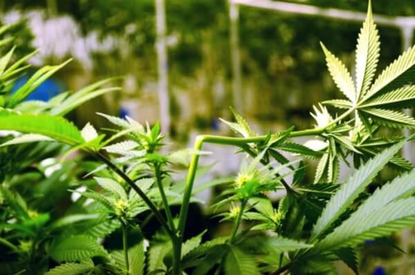 cómo-aumentar-la-cosecha-de-marihuana