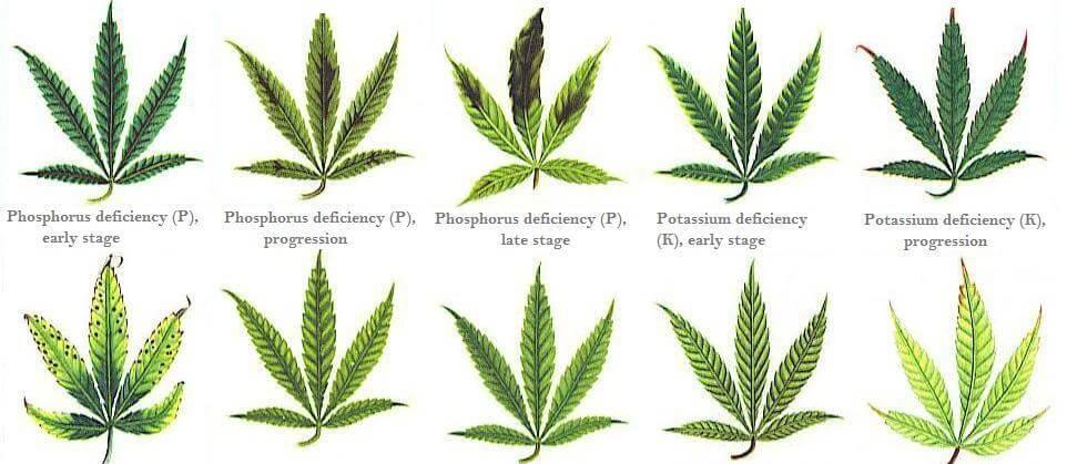 ¿Cuáles son las carencias y excesos de la marihuana?