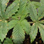 deficiencia de calcio en cultivos cannabicos