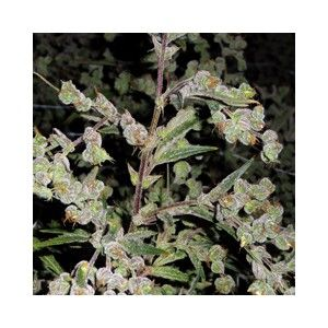 marihuana medicinal dr grinspoon