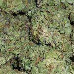 variedades de marihuana medicinal