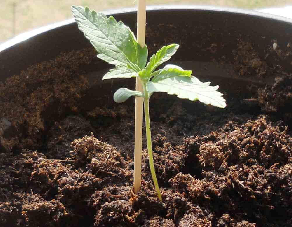 10 semillas de marihuana autoflorecientes para cultivar en verano