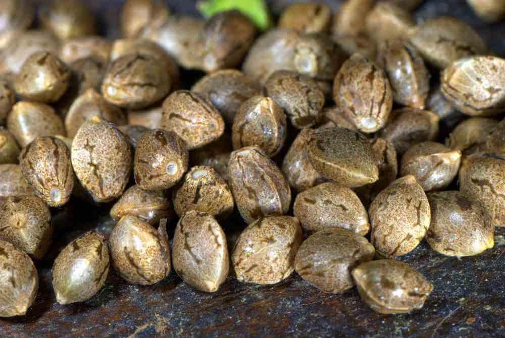 Las 10 semillas de marihuana feminizadas más baratas y apreciadas