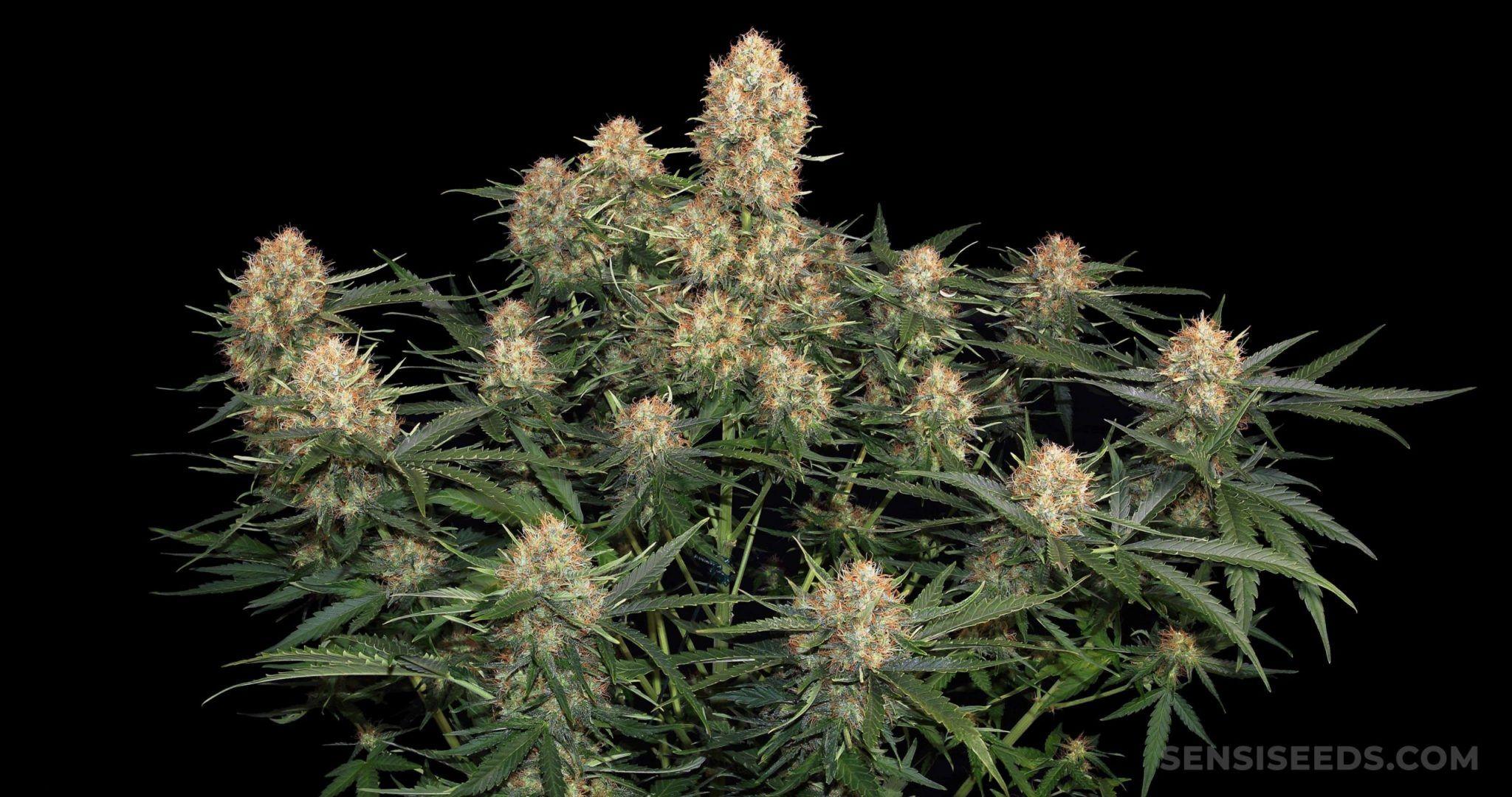 semillas de marihuana más baratas y apreciadas