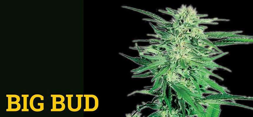 Una de las variedades de marihuana más productivas: Big Bud