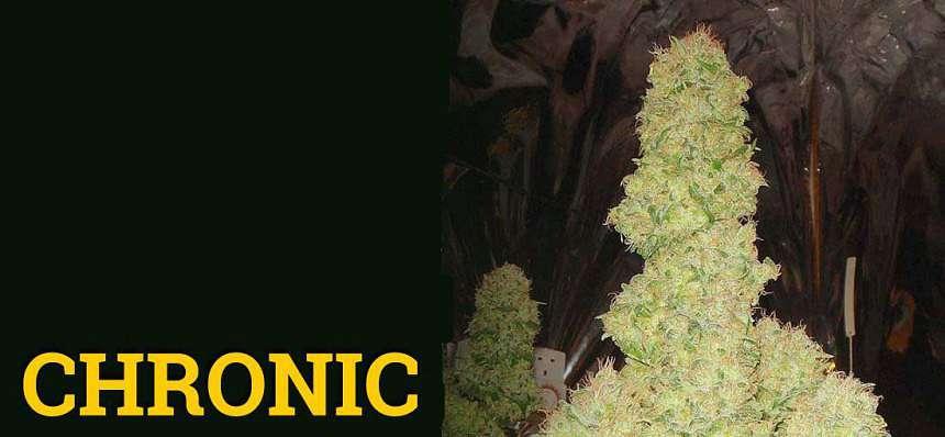 Una de las variedades de marihuana más productivas: Chronic