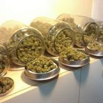 lista de las variedades de marihuana más productivas