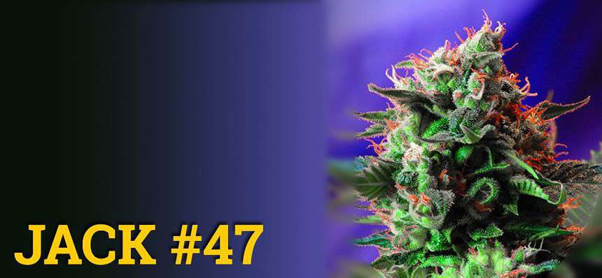Una de las variedades de marihuana más productivas: Jack 47