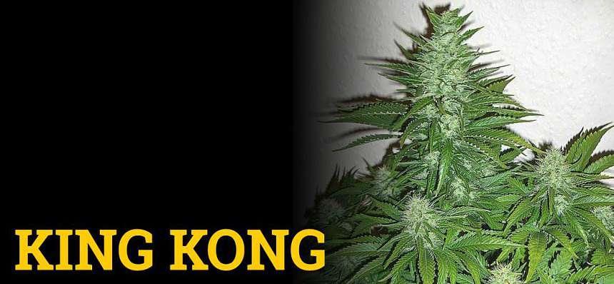 Una de las variedades de marihuana más productivas: King Kong