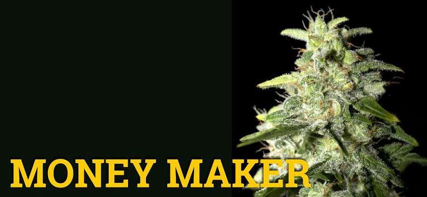 Una de las variedades de marihuana más productivas: Money Maker