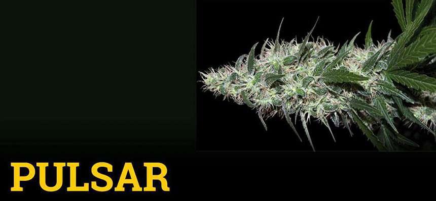 Una de las variedades de marihuana más productivas: Pulsar