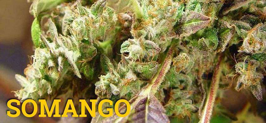 Una de las variedades de marihuana más productivas: Somango