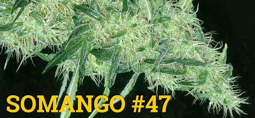 Una de las variedades de marihuana más productivas: Somango 47