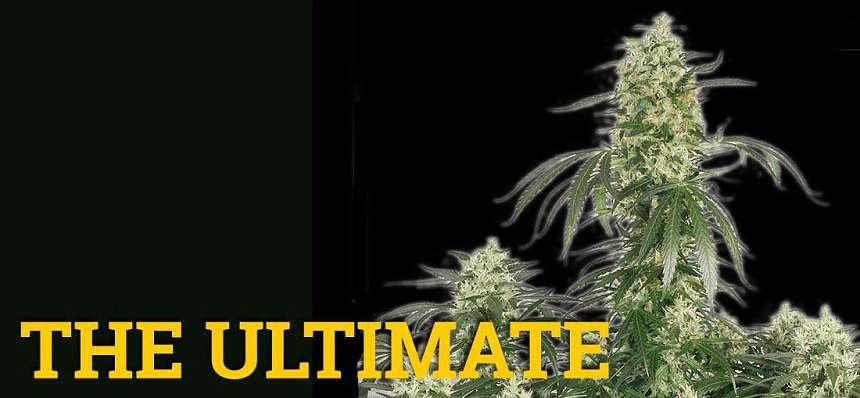 Una de las variedades de marihuana más productivas: The Ultimate