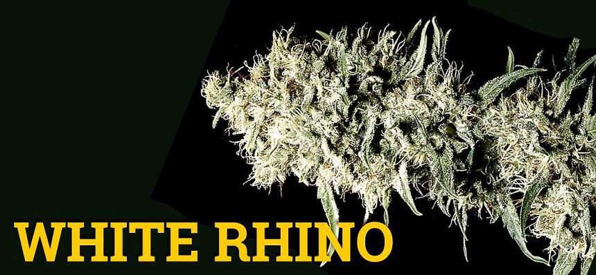 Una de las variedades de marihuana más productivas: White Rhino