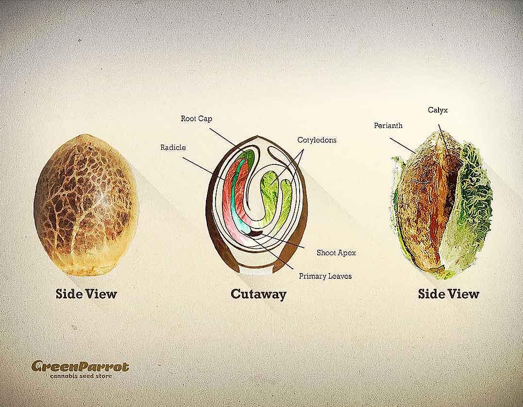 anatomía de una semilla