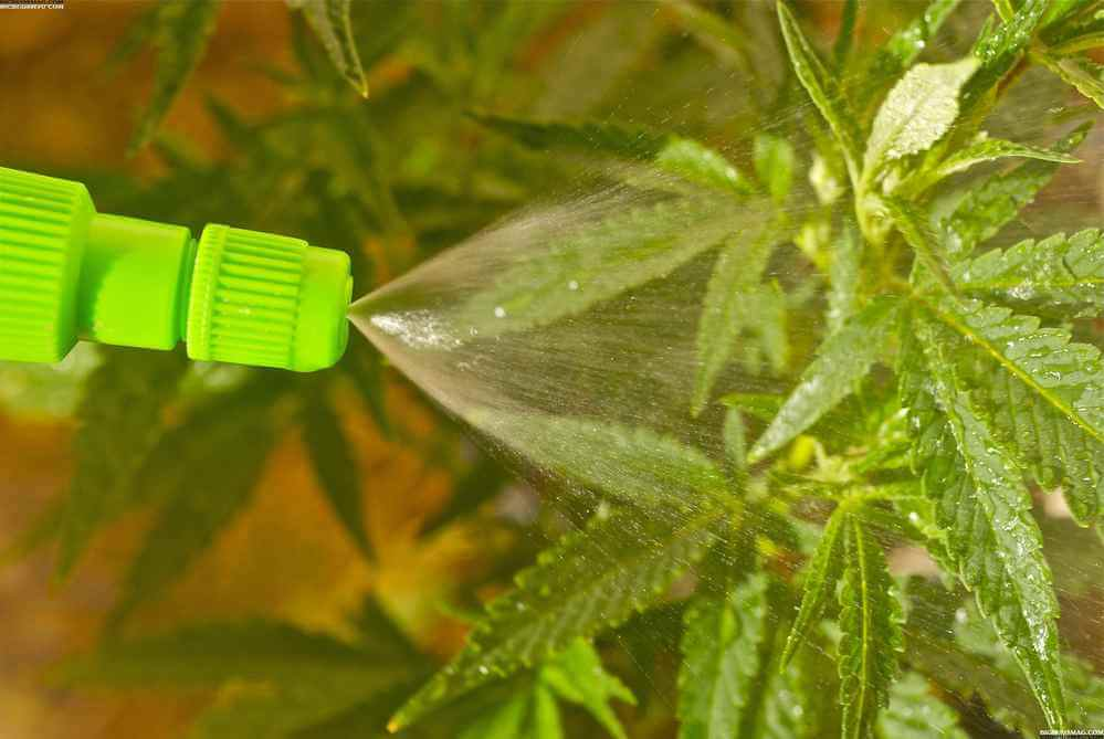 Fungicida casero para marihuana, ecológico