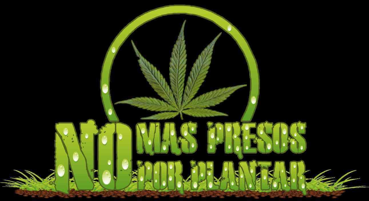 ¿Sabías que el cultivo de marihuana en Chile ya era legal?