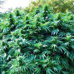 ¿Cómo aumentar la cosecha de marihuana con abonos?