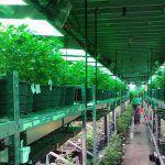 banco de semillas de marihuana
