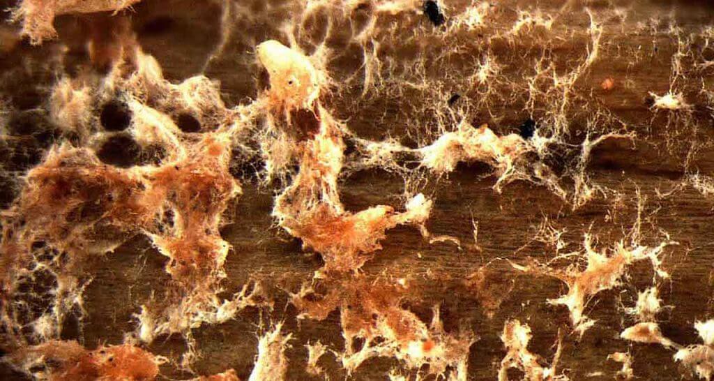 hongo fusarium en la marihuana