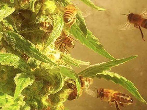 abejas hacen miel de marihuana