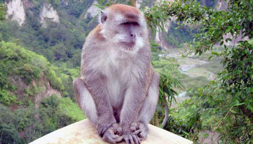 macaco marihuana rectal