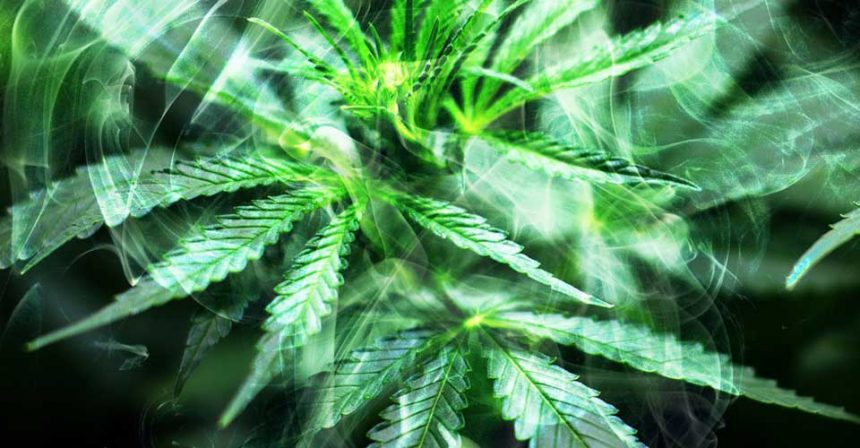 Como variar la proporción de Cannabinoides de la marihuana