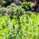 Semillas de marihuana para Perú