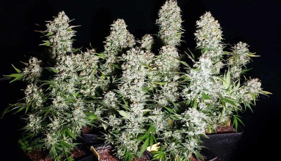 Chronic marihuana productiva