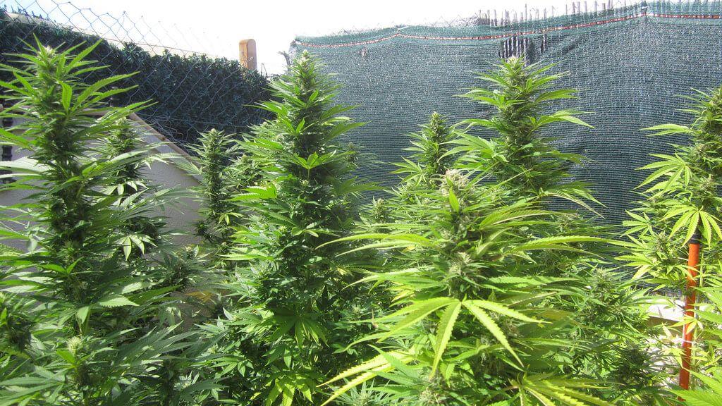 cultivo exterior, marihuana, hierba, Cannabis
