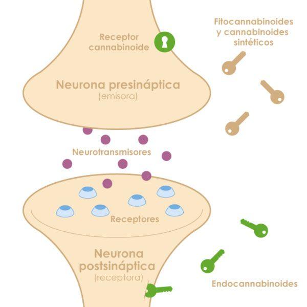 Los endocannabinoides sonemisores de información fisiológica que activan a sus receptores desencadenando distintos procesos metabólicos a nivel neuronal, digestivo, reproductivo e inmunológico.