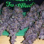 LSD 25 Marihuana autofloreciente de Fast Buds