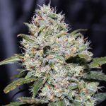 marihuana Gorilla Glue Auto