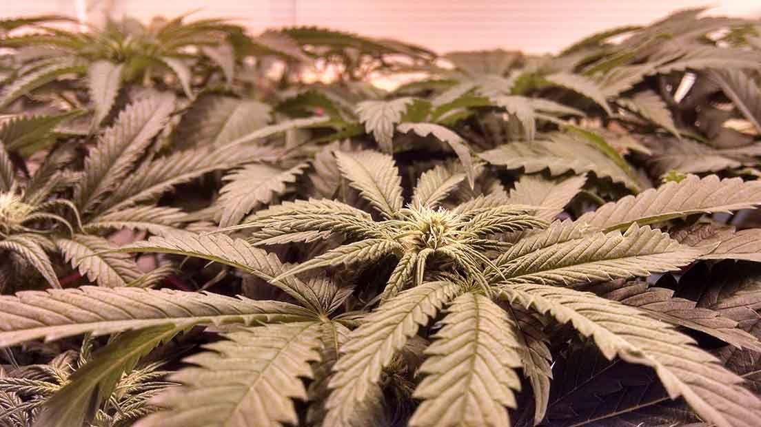 iluminación lec para marihuana