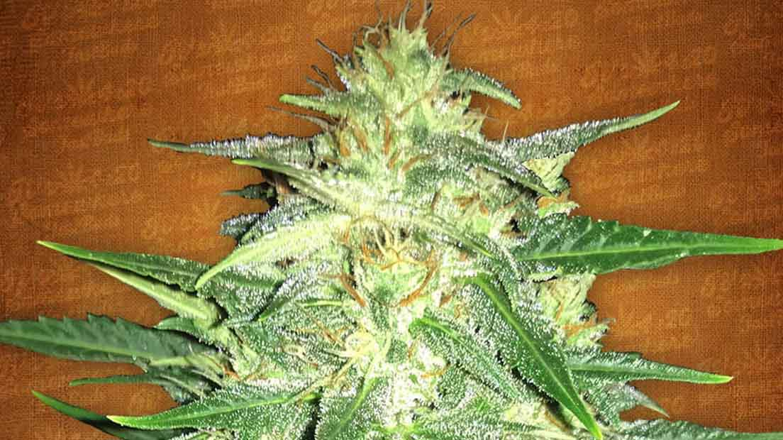marihuana Lemon AK cítrica