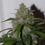 marihuana Tangie Matic