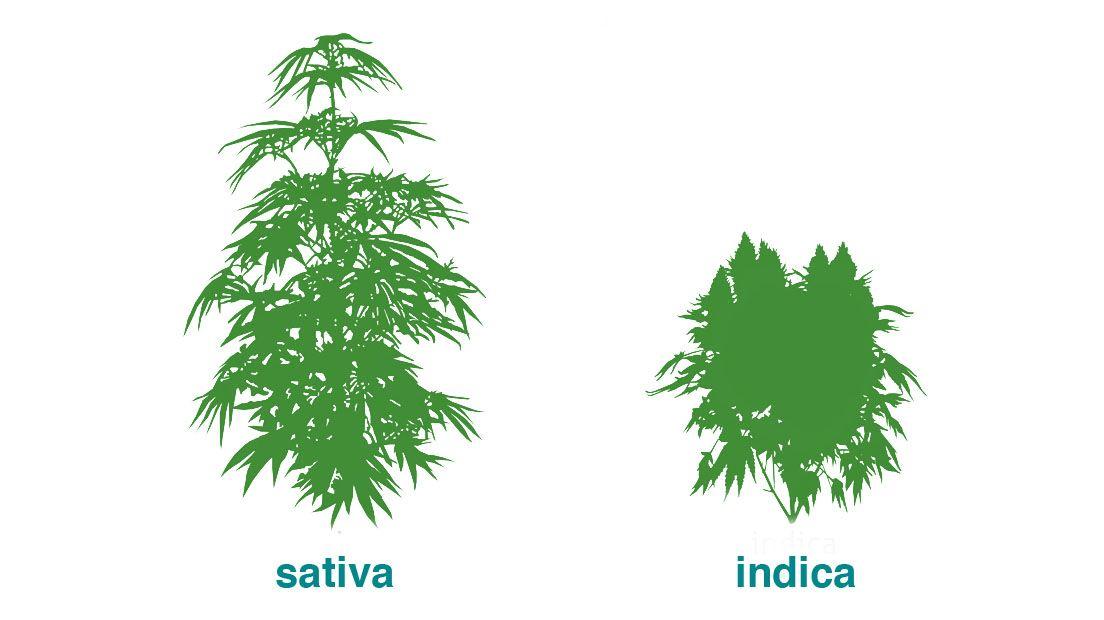Cannabis Índica y Sativa
