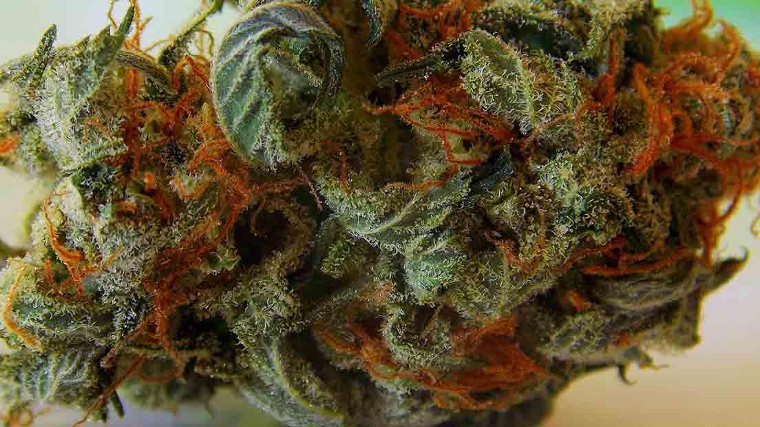 Partes del Cannabis. Cogollos de marihuana