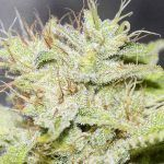 gorilla candy Cannabis Índica