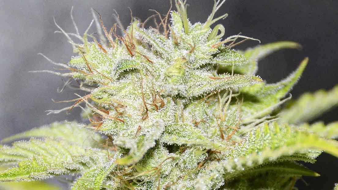 Cannabis Índica