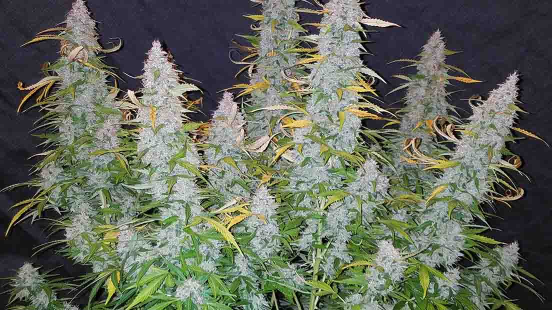 marihuana auto californian snow
