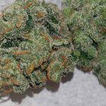 marihuana de Fast Buds Girl Scout Cookies