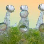 tricomas de la marihuana en crecimiento