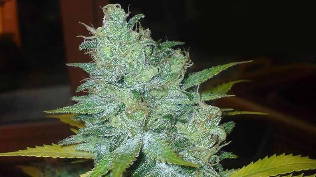 Marihuana con poco olor de sensi seeds